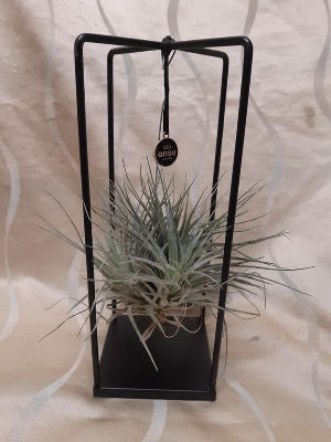Air plant on stand