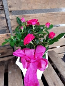 cerise rose pot