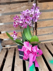 double pink mini phaelenopsis orchid box