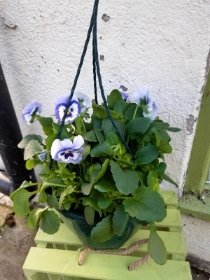 pale blue pansy hanging pot