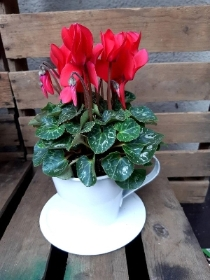 Red cyclamen tea cup