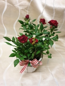 Red Rose Plant Pot